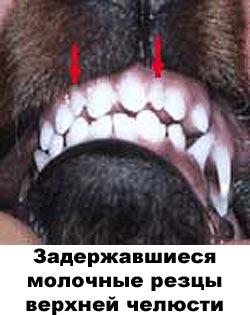 Болезни зубов у кошки - флюс, или зубной абсцесс зубы у кошки схема